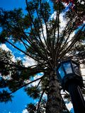 A view of the blue sky throught the a araucaria stock photo