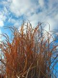 View at blue sky thru dry decorative grass Royalty Free Stock Photos