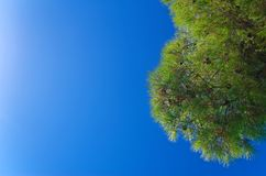 View on the blue sky through tree branches. Looking up to the blue sky through branches of the coniferous tree royalty free stock photography
