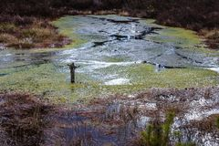 Bog water covered with green herbs. View of the bog, early spring in the bog - dry brown grass and lichens, all in brown color, bog water covered with green stock image