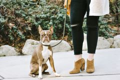 Pet Dog Boston Terrier Sits Beside His Female Owner View of Female Legs royalty free stock photos