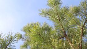 View from bottom to top: green pine tree needles branches sky clouds. Blowing wind stock footage