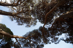 View from the bottom to the top of the large pine trees. Royalty Free Stock Image