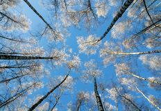 View from the bottom to the tops of the birch trees covered with royalty free stock image