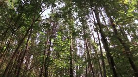 View from the bottom into the tops of the trees in the forest. View from the bottom into the tops of the green trees in the forest through which shine the bright stock footage