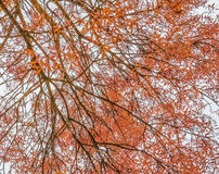 View from bottom of trees with yellow and brown leaves with autumn color on sun light Royalty Free Stock Photography
