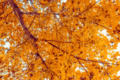 View from bottom of trees with yellow and brown leaves with autumn color on sun light Stock Images