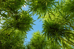 View bottom up. Of green marijuana plant stock photo