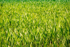 view of boundless green wheat field Royalty Free Stock Photo