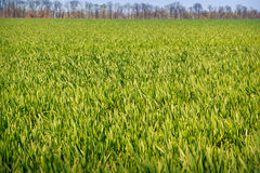 View of boundless green wheat field. Panorama of boundless green wheat field Stock Photography