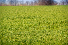 View of boundless green wheat field upto forest on horizon. Panorama of boundless green wheat field upto forest on skyline Royalty Free Stock Image