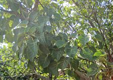 LARGE LEAVED ROCK FIG LEAVES Stock Photo