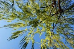 View of the branches of a weeping willow looking at the sky. Looking up at the blue sky of a summer day through the yellow branches of a weeping willow Royalty Free Stock Photo