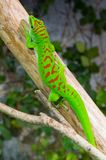 Brightly colored Madagascar day gecko on branch. View of the bright colorpattern on the Madagascar day gecko Royalty Free Stock Photo