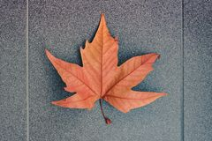 View of bright orange maple leaf on a gray background royalty free stock photo