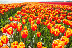 View of bright orange tulips in summer time Stock Photos