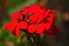 BRIGHT RED GERANIUM FLOWER. View of a bright red geranium flower on a plant in a garden stock photography