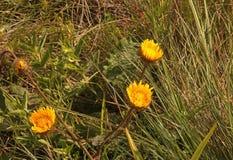 THREE BRIGHT YELLOW WILD FLOWERS IN GRASSLAND OF KWA ZULU-NATAL royalty free stock image
