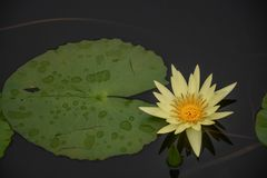 A Bright Yellow Waterlily on the Pond royalty free stock photography