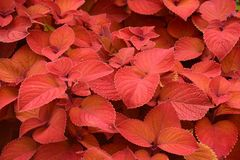 Bright Red Colored Foliage. A view of brilliant red colored foliage that brighten up a corner of a local garden stock photography