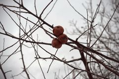 View of broken, frozen apples on the autumn tree, without leaves royalty free stock photo