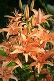 View of the brown Lilium tigrinum Stock Image