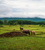 View buffalo on Green Fields Stock Image