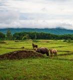 View buffalo on Green Fields Stock Image