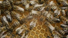 Hardworking bees on honeycomb stock video