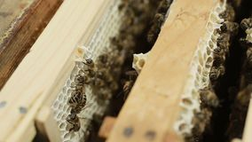 Hardworking bees on honeycomb stock footage