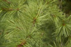 Buthan pine closeup. View of Buthan pine needles closeup Royalty Free Stock Images
