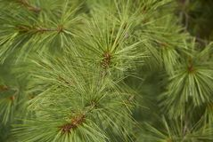 Buthan pine closeup. View of Buthan pine needles closeup Royalty Free Stock Photography