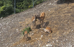 View from cableway on the family deer in Safari pair Gelendzhik Stock Photo