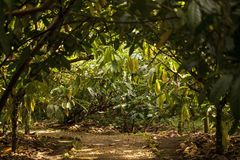 The cocoa tree . Theobroma cacao plantation. A view of cacao plantation in Costa Rica stock image
