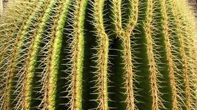 View of cactus garden, jardin de cactus in Guatiza, Lanzarote, Canary Islands, Spain, 4k footage video. View of cactus garden jardin de cactus in Guatiza stock video