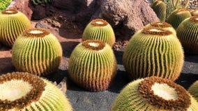 View of cactus garden, jardin de cactus in Guatiza, Lanzarote, Canary Islands, Spain, 4k footage video. View of cactus garden jardin de cactus in Guatiza stock footage