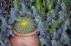CACTUS IN A TERRACOTTA POT WITH OTHER PLANTS AND FERNS stock photos