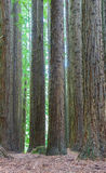 View of Californian redwoods forest in Victoria, Australia Royalty Free Stock Images
