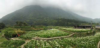 View of the callalily flower field in Taiwan. View of the callalily flower field in Yangmingshan, Taiwan Stock Photos