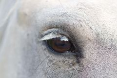 View of the Camargue horse. The faithful view of a camargue horse photographed with macro Royalty Free Stock Images