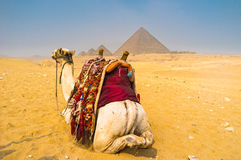 The view with a camel Royalty Free Stock Photography
