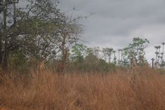 View of camouflaged giraffes against tall vegetation in Quiçama National Park, Angola stock image