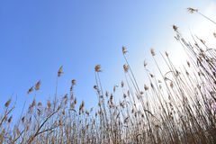Cane thicket Royalty Free Stock Photos