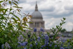 View from Cannon Bridge Roof Garden, London UK. Blue ceanothus flowers in foreground. Dome of St Paul`s in soft focus in distance. royalty free stock photography