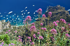 View of Capri riviera with purple wild flowers from Mount Solaro in Anacapri, Capri, Italy. View of Capri riviera with purple wild flowers from Mount Solaro in Stock Image