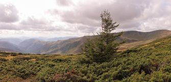 The view of the Carpathian Mountains. Dragobrat. Ukraine. Panoramic. Beautiful view of the Carpathian Mountains with juniper and spruce. Dragobrat. Ukraine Stock Photo