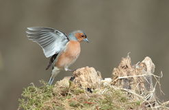 Chaffinch. View of a chaffinch landing on a stump Royalty Free Stock Images