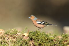Chaffinch. Stock Photography
