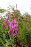 View of Chamaenerion angustifolium known as fireweed, great willowherb and rosebay willowherb flowers. royalty free stock photography