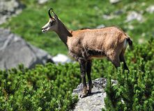 View of the chamois in the mountains Stock Photo